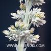 Kalanchoe thyrsiflora-3 (SUBENUIX) Tags: crassulaceae kalanchoethyrsiflora suculentas subenuix subenuixcom planta suculent suculenta botanic botanical