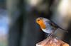 Brandon Marsh Nature Reserve (MarvTheRobot) Tags: brandonmarsh nature robin wkwt walks wildlife winter coventry westmidlands england