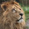 asiatic lion Aapel Blijdorp BB2A9924 (j.a.kok) Tags: leeuw lion aziatischeleeuw asiaticlion pantheraleopersica blijdorp mammal zoogdier dier animal azie asia predator mammel aapel