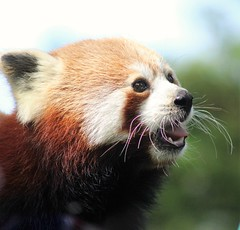 Merry Christmas to all you wonderful people and thank you for the continuous support!!! (kimmilouise) Tags: thankyou merry christmas holidays red pandas animals wildlife nature cornwall paradise park
