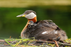 Red Necked Grebe & Chick (AlaskaFreezeFrame) Tags: waterfowl birds water lakes summer canon 70200mm alaska alaskafreezeframe raft babies chicks cute divers beautiful swimming nature outdoors outdoor wildlife redneckedgrebe lobedtoes nest