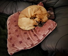 Pug (Мaistora) Tags: dog pet pug kingcharles spaniel mix breed small funny shoe skipper pillow sofa sleep cozy curled mobile phone galaxy s8 android snapseed explore explored25dec17