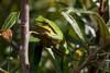 ©Mark Kras-Europese boomkikker-IMG_6674.jpg (markkras-fotografie) Tags: europeseboomkikker amfibieen reptielenenamfibieen fauna europeantreefrog hylaarborea nederland nl