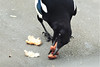Just one more (stellagrimsdale) Tags: magpie bird peanuts eating black white blue wildlife animal birdphotography eye beak peanut greedy fantasticnature