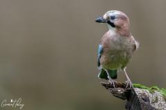 Jay (geraintparry) Tags: south wales southwales nature geraint parry geraintparry wildlife cardiff forestfarm forest farm sigma sigma150600 150600 150600mm animal animals jay jays bird birds