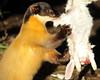 Yellowthroated marter Ouwehands BB2A4277 (j.a.kok) Tags: marter maleisebontemarter yellowthroatedmarter asia azie maleisie malayan animal ouwehands mammal zoogdier dier