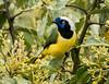 IMG_2698 Inca Jay or Green Jay (ashahmtl) Tags: incajayorgreenjay jay songbird cyanocoraxyncas baeza napoprovince ecuador