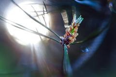 needle work (Simon[L]) Tags: conifer macro