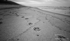 Follow the paws (mswan777) Tags: white black monochrome ansel 1020mm sigma d5100 nikon cloud sky dune water michigan bridgman lakemichigan scenic nature outdoor seascape coast shore walk beach sand pawprint paw dog
