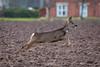 Roe Deer (deltic17) Tags: roedeer deer wildlife wild animal capture unexpected