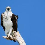 Ridgway's osprey thumbnail