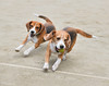 Barney and Cooper (Nikcanlove1) Tags: beagle hound philippines pasig nikon d850 24120mm run fun tennis ball chase