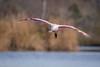 Now Arriving (gseloff) Tags: roseatespoonbill bird flight bif water bayou nature wildlife animal horsepenbayou pasadena texas kayakphotography thekingandi annaleonowens kingmongkutofsiam gseloff