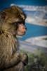 Pensive macaque (clivecrisp) Tags: wildlifephotography wildlife monkey macaque barbarymacaque gibraltar rockofgibraltar
