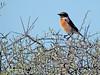Saxicola rubicola (Tarabilla europea) (25) (eb3alfmiguel) Tags: pájaro aves passeriformes insectívoros turdidos turdidae tarabilla europea saxicola rubicola