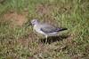 (Carlos Santos - Alapraia) Tags: ngc ourplanet animalplanet canon nature natureza wonderfulworld highqualityanimals unlimitedphotos fantasticnature birdwatcher ave bird pássaro