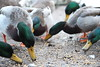 Ducks (umphotography) Tags: swans rufford park abbey nottinghamshire mansfield ollerton a614