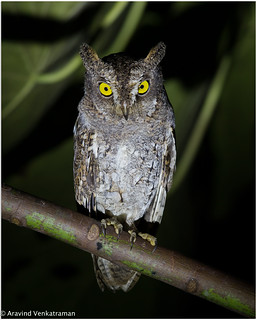 Walden's Scoops Owl ( Oriental Scoops Owl ss)