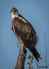 Hangry eyes...when you are so hungry it makes you angry! (flintframer) Tags: osprey raptors gulf shores alabama state park staring perched wow dattilo wildlife nature free wild canon eos 7d markii ef600mm 14x