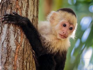 White-headed capuchin monkey (Cebus capucinus)