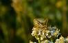 xyx-0225 (jozsef.fay) Tags: hely itthon köncsög növény virág rovar tücsök vadvirág állat