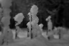 Reed sticks. (Dikke Biggie.) Tags: macromonday macromondays mm hmm macro closeup detail themestick stick sticks stok stokken grasstokje canon canong1xmarkii dof depthoffield scherptediepte bokeh blackandwhite black bw white zwartwit zw zwart wit monochrome monochroom landgoedtewerve rijswijk winter stokjes wood wooden hout houten canonnl dgawc reedsticks reedstick rietsok rietstokken