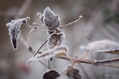De feuilles et de givre...! (minelflojor) Tags: givre branche feuille macro bokeh hiver froid frost branch leaf cold winter