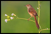 Beauty of The Nature (asifsherazi) Tags: plainprinia paragoncity lahore pakistan asifsherazi bird windlife