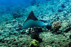 Eagle Ray profile || Oahu (David Marriott - Sydney) Tags: honolulu hawaii unitedstates us spotted eagle ray oahu scuba diving hawaiikoa crater oahuscubadiving ikelite underwater sea ocean