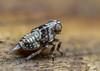 Issus coleoptratus - nymph (markhortonphotography) Tags: surrey macro thatmacroguy markhortonphotography nature delphacid surreyheath issuscoleoptratus planthopper insect hemiptera delphacidae invertebrate