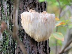 Bearded Tooth, Lion's Mane; Hedgehog Mushroom (Dean Newhouse) Tags: mushroom fungalgrowth beardedtooth lionsmane hedgehogmushroom familyhericiaceae hericiaceae