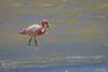 Parina chica, James's Flamingo, Phoenicoparrus jmesi (Andres Puiggros) Tags: d500 arica chile expedicion nikon workshop parinachica jamessflamingo phoenicoparrusjmesi flamingo flamenco parina birds aves wildlife surire