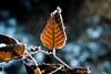 Hornbeam hoarfrost (Peter Goll thx for +6.000.000 views) Tags: makro winter erlangen germany blatt leave tree nikon nikkor d750 gegenlich backlicht baum hainbuche hornbeam hoarfrost raureif