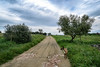 Stormy Weather (Miguel.Galvão) Tags: galvão miguel farm old alentejo portugal évora dog iggy quinta sky dramatic olive tree road infinity nikon d3100 kit lens