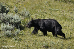 Black Bear_T3W0537 (Alfred J. Lockwood Photography) Tags: alfredjlockwood nature wildlife blackbear morning lamarvalley yellowstonenationalpark chaparral grasses field wyoming summer