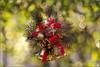 Christmas bubbles (Luciano Silei - sky7) Tags: christmas bubbles bokeh lucianosilei canon7d trioplan100mmf28 meyergorlitz manualfocus vintagelens
