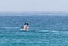 Whale breaching (davidthegray) Tags: dehoopnaturereserve whale sudafrica sea southafrica balena humpback overbergdc westerncape za