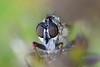 Petokärpänen - Tolmerus atricapillus -  Kite-tailed robber fly (Henri Koskinen) Tags: tolmerus atricapillus kitetailed robber fly robberfly kärpänen petokärpänen diptera virtasalmi finland 03092017
