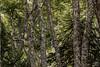 En el bosque (Takk Heima Fotografia) Tags: surdechile canon patagonia araucania angol cayucupil nahuelbuta parque nationalpark canon70d 50mm