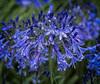Sea of Blue (MrBlueSky*) Tags: flower petal plant garden horticulture outdoor nature blue colour kewgardens royalbotanicgardens london aficionados pentax pentaxart pentaxlife pentaxk1 pentaxawards pentaxflickraward pen