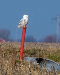 Snowy Owl (Bubo scandiacus) (wplynn) Tags: snowy owl bubo scandiacus avian wild bird mtcomfort mountcomfort indiana irruption indianapolis