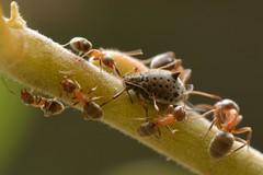Ants tending a Giant Willow Aphid (Tuberolachnus salignus) on Arroyo Willow (Treebeard) Tags: giantwillowaphid tuberolachnussalignus lachninae aphididae sternorrhyncha hemiptera ant formicidae hymenoptera arroyowillow salixlasiolepis salicaceae sanmarcospass santabarbaracounty california