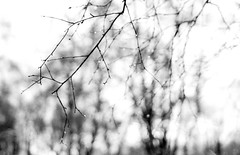 Branched (ronet) Tags: 35mm pentaxmz5n dew diydeveloped film fp4 ilford ilfordfp4 ilfotecddx raindrop tree