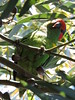 Musk Lorikeets at Clunes (Kerry Vickers) Tags: birds lorikeets