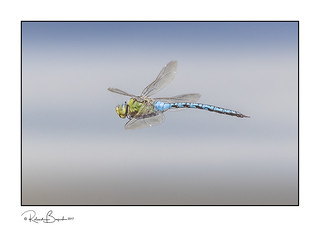 Anax imperator - Emperor Dragonfly in flight 2