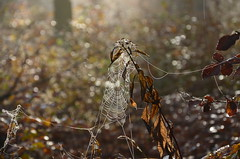 DSC_8670 Spinnennetz mit Bokeh - Spider web with Bokeh (baerli08ww) Tags: deutschland germany rheinlandpfalz rhinelandpalatinate westerwald westerforest nebel mist morgensonne morningsun spinnennetz spiderweb ngc npc coth5