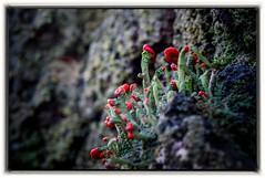 Chrobotek (Cladonia) (bialobrody) Tags: macro fungi fungus forest redfungi red cladonia lichen nature