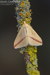 2017 Moths 6 - Vestal (gcampbellphoto) Tags: the vestal rhodometra sacraria moth migrant nature wildlife insect ireland gcampbellphoto