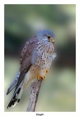 Faucon Crécerelle (gilbert.calatayud) Tags: commonkestrel falcotinnunculus falconidés falconiformes fauconcrécerelle bird oiseau ile d oléron la cotinière