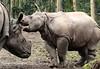 indian rhino Namaste and Karuna Blijdorp BB2A0700 (j.a.kok) Tags: rhino rhinoceros indischeneushoorn indianrhinoceros pantserneushoorn neushoorn blijdorp namaste karuna mammal asia azie zoogdier dier animal moederenkind motherandchild